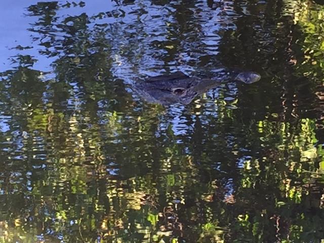 Muitos jacarés nos pântanos do Everglades - foto Ana Paula Garrido